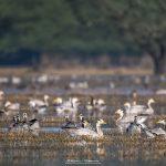 Bar-headed Goose Family