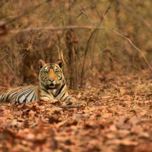 Tiger Cub by Srikrishna Das